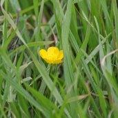 171105 Buttercup