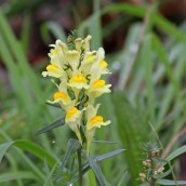 171105 Common toadflax
