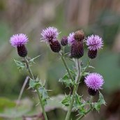 171105 Creeping thistle