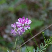 171105 Crown vetch