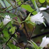 171105 Hedge bindweed