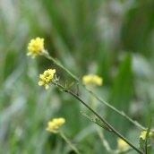 171105 Hoary mustard