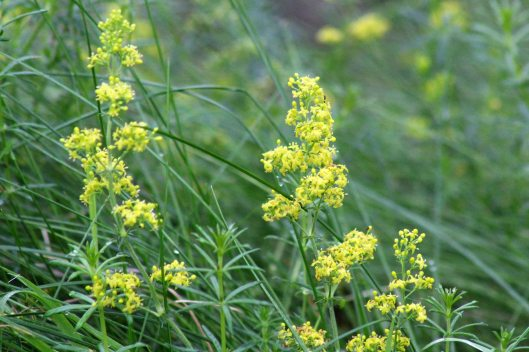 171105 Lady's bedstraw