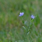 171105 Pale flax