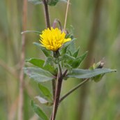 171105 Sow-thistle