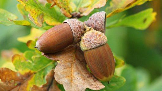 171106 acorns