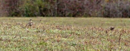 171109 Mistle thrush (1)
