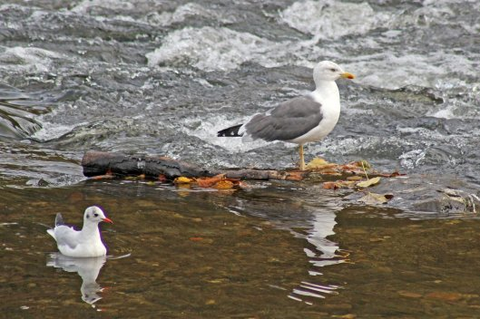 171111 Yellow-legged gull (2)