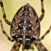 171113 Araneus diadematus Garden spider (2)