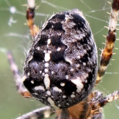 171113 Araneus diadematus Garden spider (3)