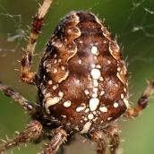171113 Araneus diadematus Garden spider (4)