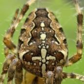 171113 Araneus diadematus Garden spider (5)