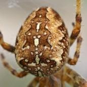 171113 Araneus diadematus Garden spider (6)