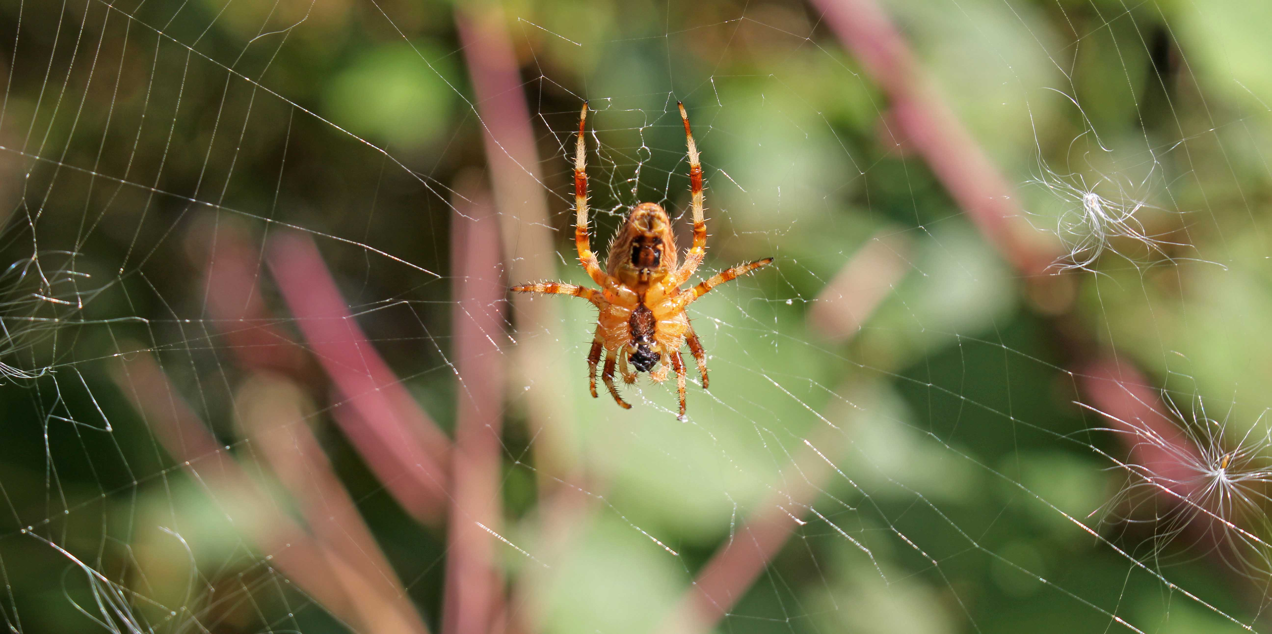 171113 Araneus diadematus Garden spider (7)