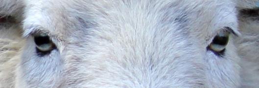 171114 1 Sheep