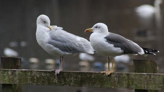 171116 gull chat (1)