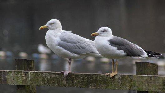 171116 gull chat (2)