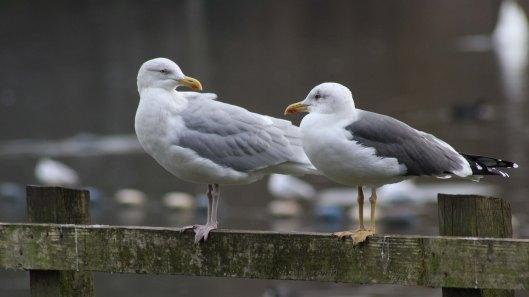 171116 gull chat (3)