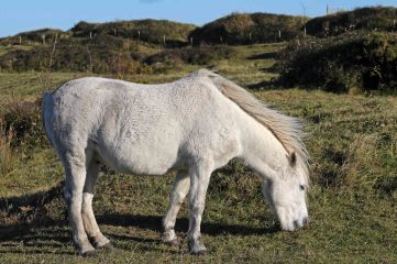 171120 Dawlish warren ponies (2)