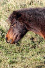 171120 Dawlish warren ponies (4)