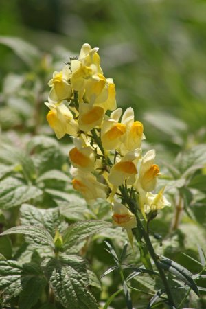 171121 Common toadflax