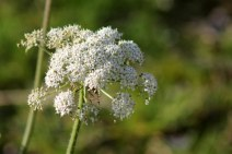 171121 Cow parsley