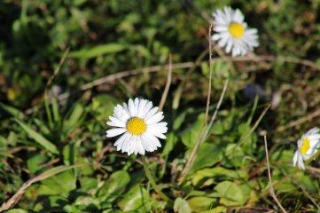 171121 Daisy
