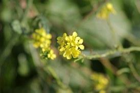 171121 Hoary mustard