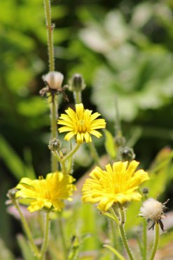 171121 Sow-thistle sp