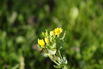 171121 Yellow-wort