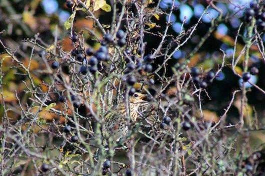 171125 Thrush and berries (2)