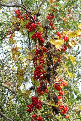 171126 Black bryony berries (1)