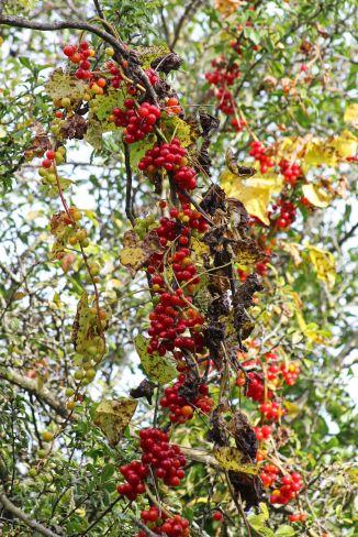 171126 Black bryony berries (1)