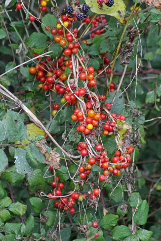 171126 Black bryony berries (3)