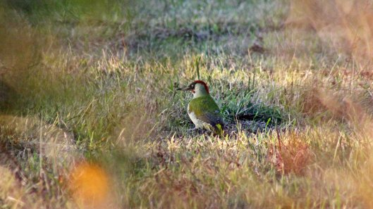 171127 Green woodpecker (4)