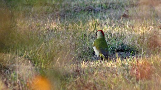171127 Green woodpecker (5)