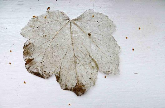 171128 leaf skeletons (1)