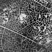 171128 leaf skeletons (4)