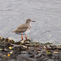 171130 15th redshank (1)