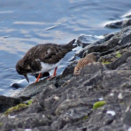 171130 17th Linnet and turnstone