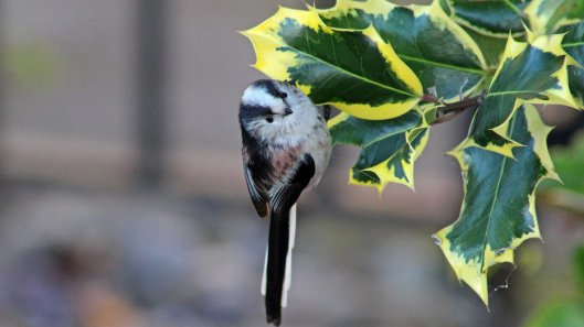 171130 25th Long-tailed tit