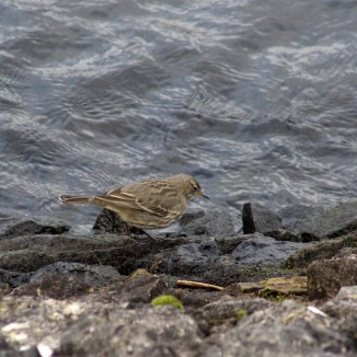 171130 9th rock pipits (1)