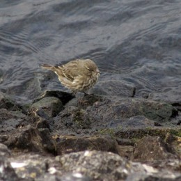 171130 9th rock pipits (2)