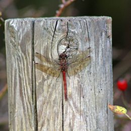 171202 common darter (2)