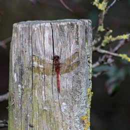 171202 common darter (3)