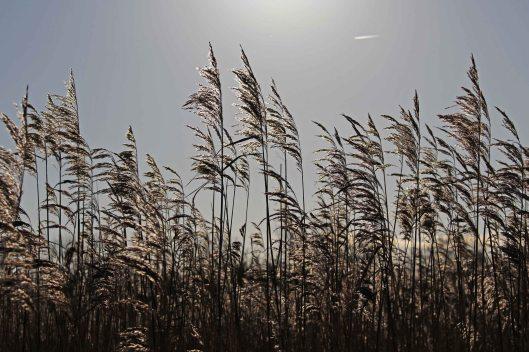171203 reeds (1)