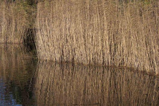 171203 reeds (2)