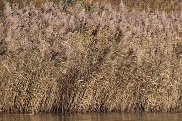 171203 reeds (3)
