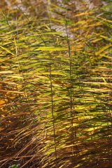 171203 reeds (4)