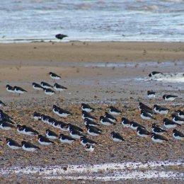 171218 oystercatchers (2)